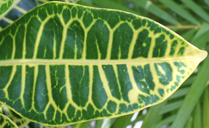veins of a leaf of a tropical plant in mexico