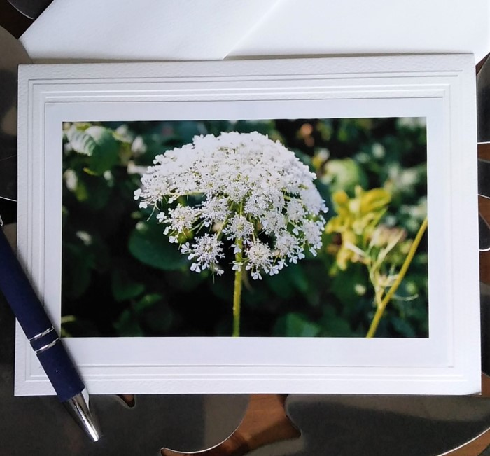 photograph of Queen Anne's Lace by doris lovadina-lee on blank notecard