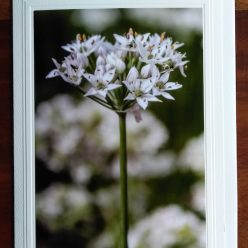 chive flowers on blank all occasion greeting card toronto ontario canada
