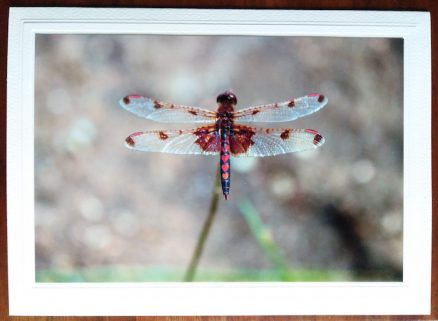 Dragonfly photo on blank greeting card by doris lovadina-lee